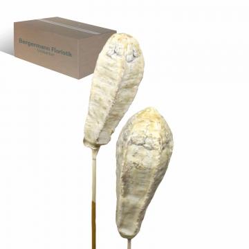 Mehogany am Stiel gewachst in Creme Weiß     (500 Stück)