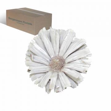 African Sun gewachst in creme weiß mit langem Naturstiel  (100 Stück)