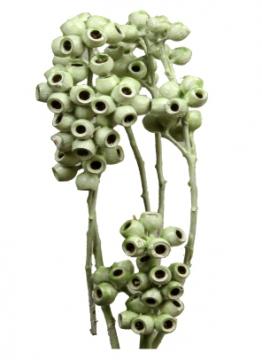 Eukalyptus Zweig gewachst in Grün Light    (350 Stück)